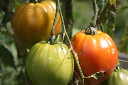 4ine-tomates