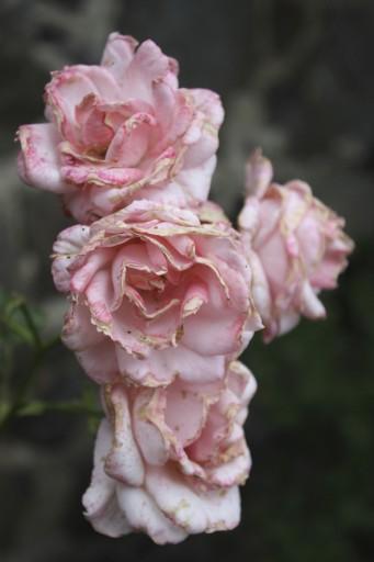 Roses-Aymee-Nakasato-1